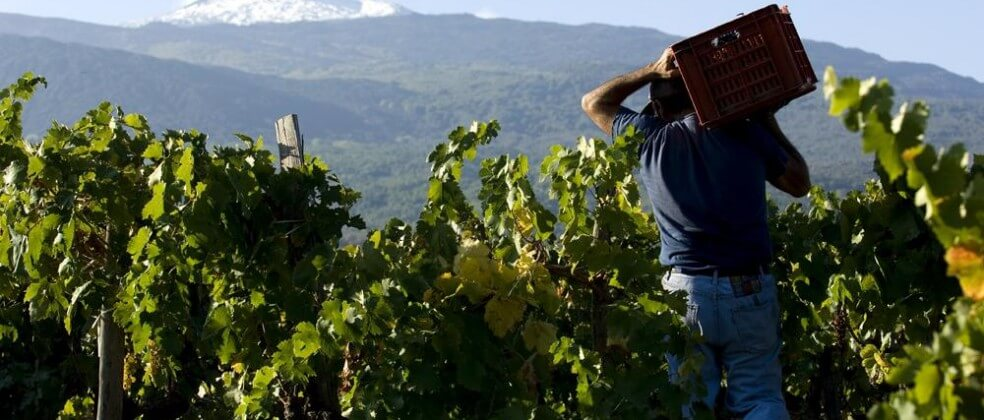 Pessoa trabalhando em vinícola