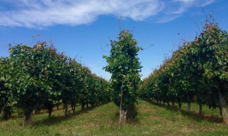 Plantação da vinícola Adele Musella